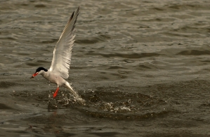 A rare Arctic Tern in Richmond Park near London