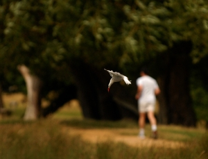 Arctic Tern Dive bombing in Richmond park