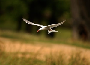 Arctic Tern in London