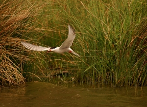 A rare Arctic Tern in Richmond park