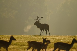 Stag Rutting in the Richmond Park Fog