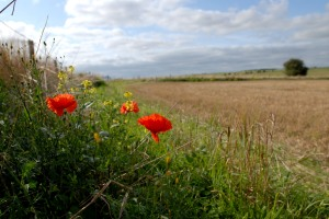 Poppies along the path to Amesbury.