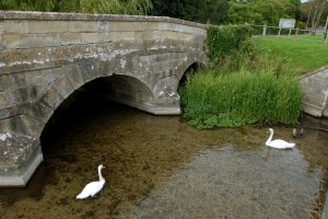 Swans at the bridge.