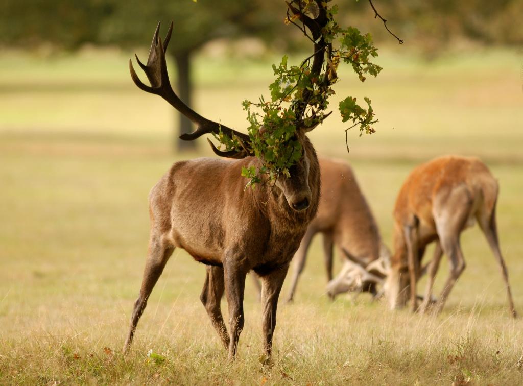 Kd deer rut 2009 1