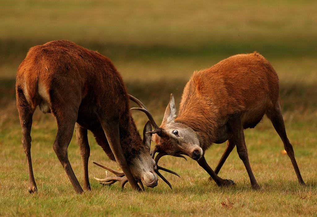 Kd deer rut 2009 11
