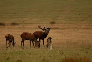 Kd deer rutt 11