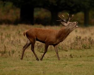 Kd deer rutt 4