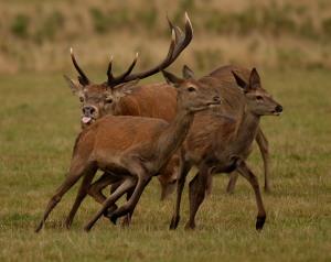 Kd deer rutt 9